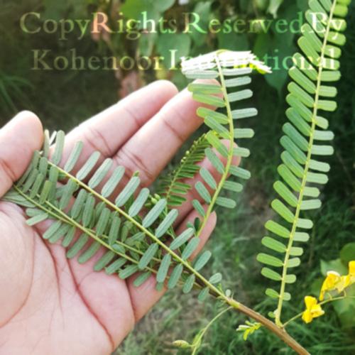 Sesbania Plant